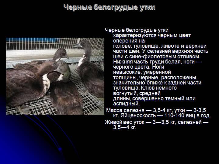 Обзор черных пород уток с фото