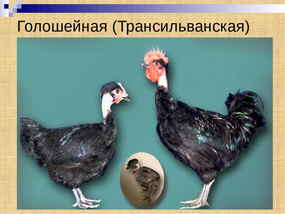 Трансильванская порода кур голошейная – описание, фото и видео