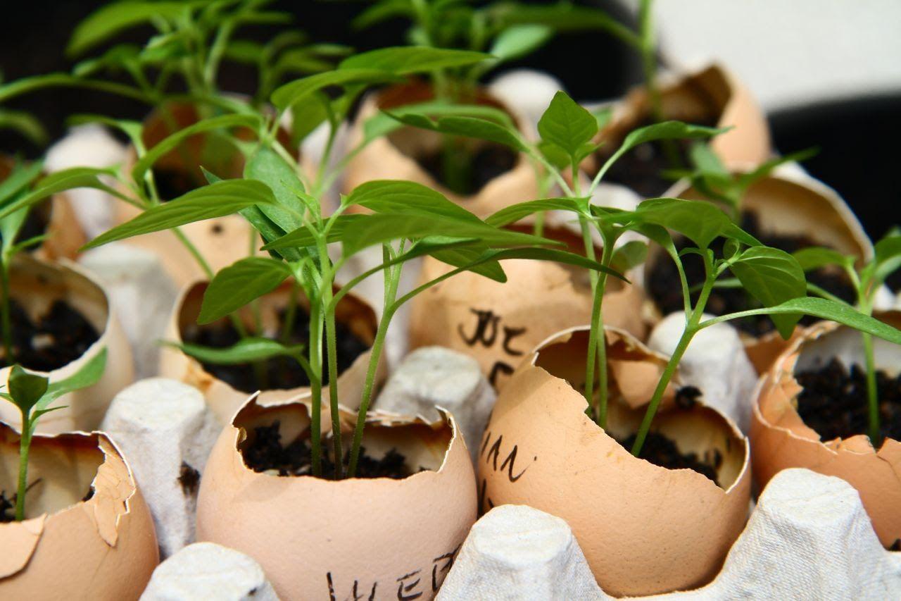 Яичная скорлупа для рассады: как подготовить скорлупу и высадить семена?