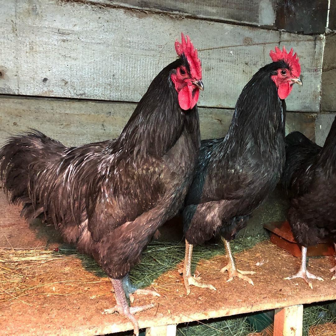 Джерсийский гигант - мясная порода кур. Описание, характеристики, правила выращивания и кормления, яйценоскость