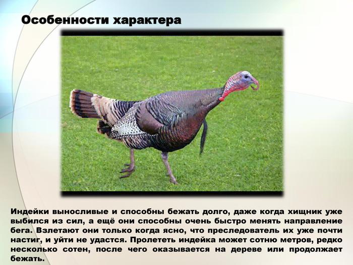 Московская бронзовая индейка – достоинства и недостатки, описание продуктивности