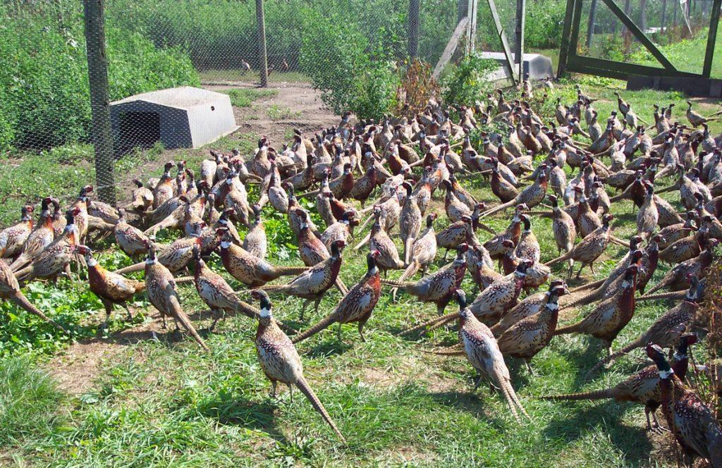 Какую птицу выгодно выращивать в домашних условиях
