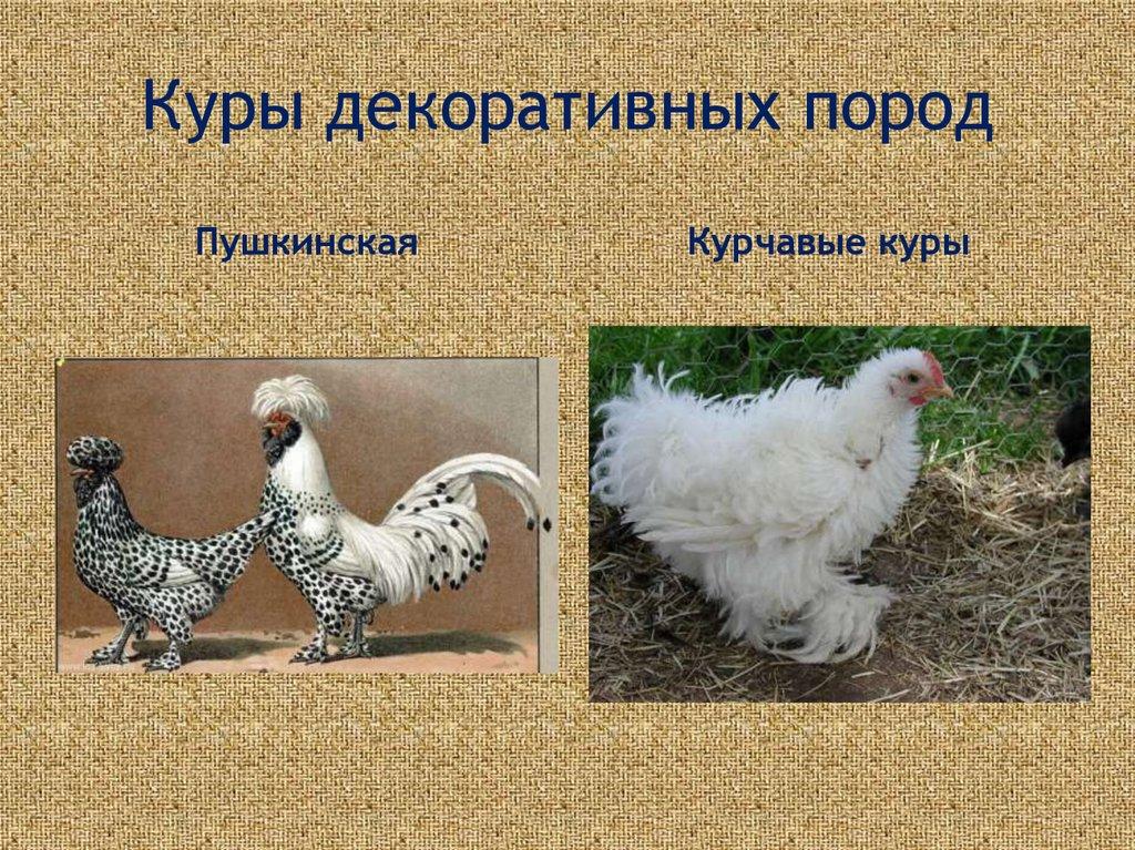 Курчавые - декоративная порода кур. Описание, выращивание и уход, кормление, инкубация