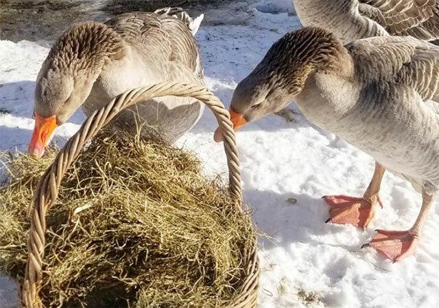 Кормление гусей зимой на племя, сено и зерно, рационы
