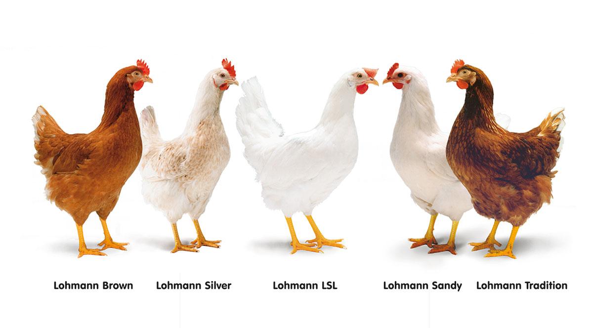 Несушки Ломан Браун – характеристики и содержание
