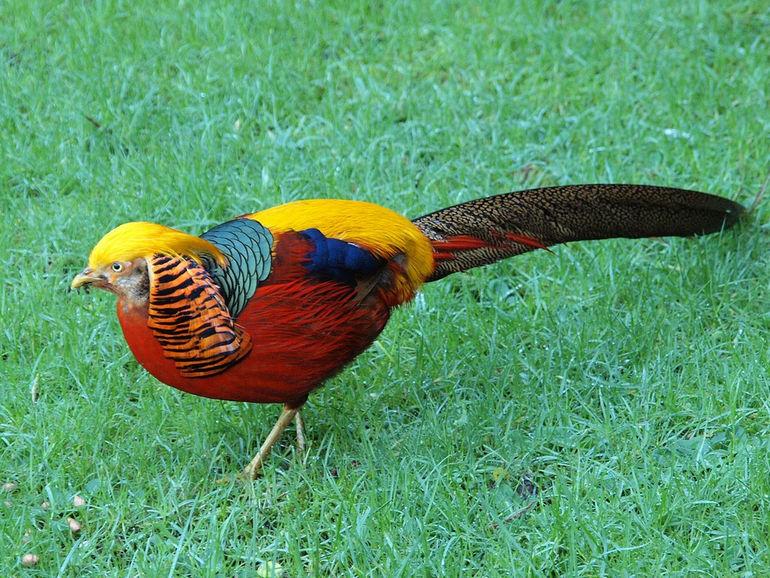 Золотые фазаны – фото, особенности внешнего вида, принципы и цели выращивания