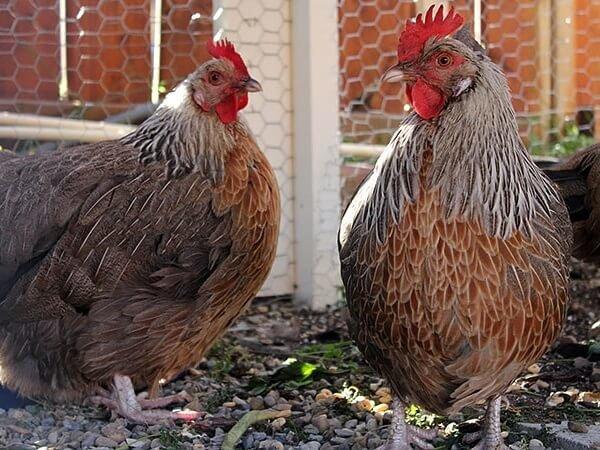 Мясные породы кур с фото и описанием ТОП 10