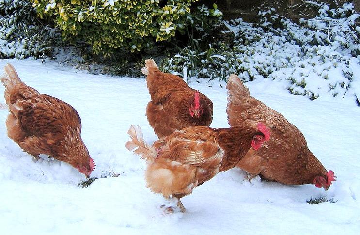 Как правильно ухаживать за курами в зимний период