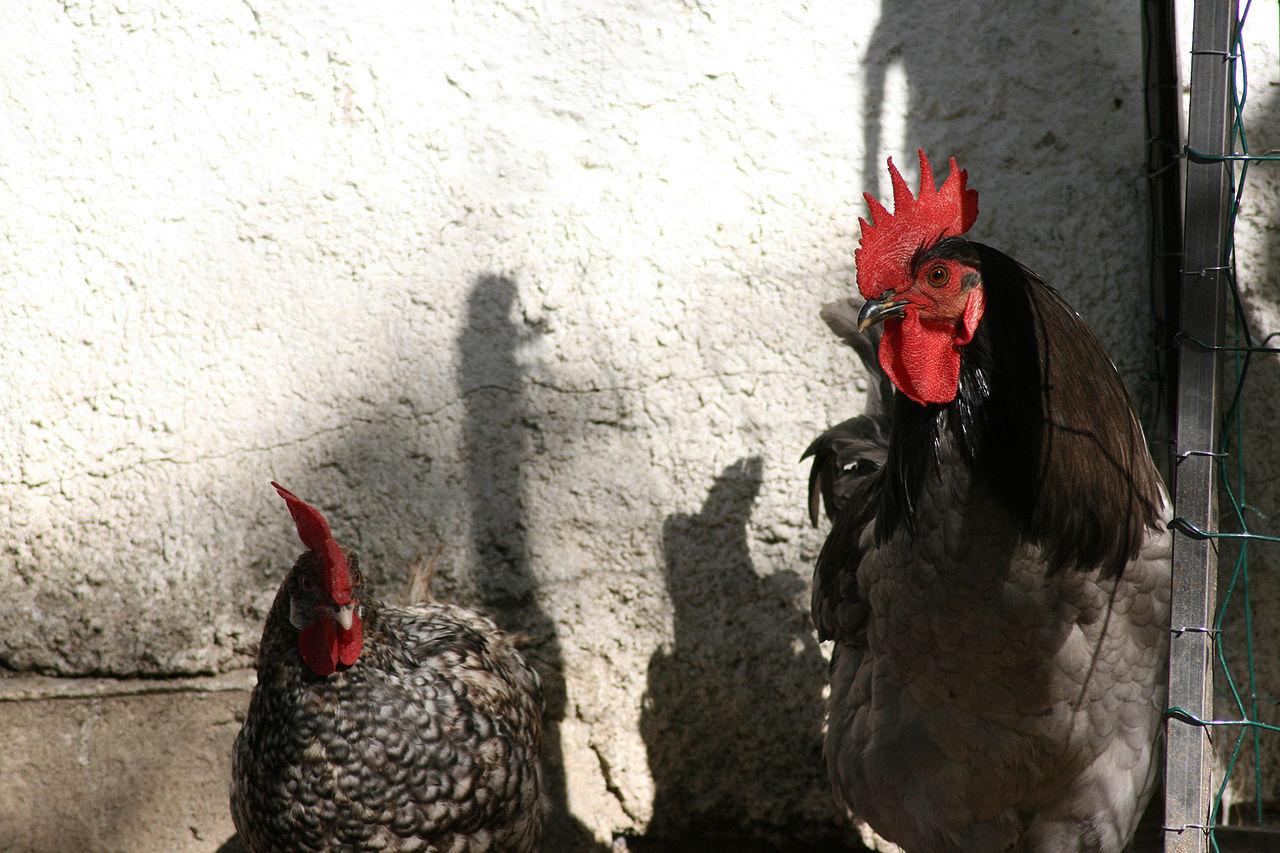 Андалузская голубая - порода кур мясо-яичного направления. Характеристики, правила разведения и выращивания, кормление, инкубация
