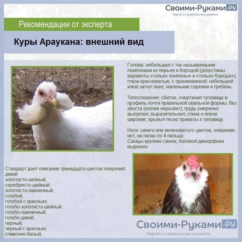Арсхотц - мясо-яичная порода кур. Описание, характеристика, содержание, разведение и инкубация