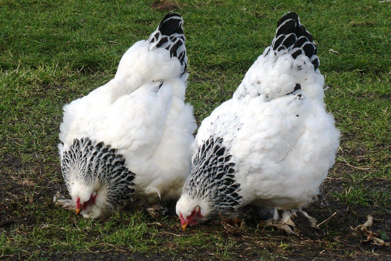 Адлерские куры серебристые — фото и описание несушек