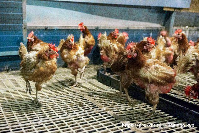 Здоровье кур в домашних условиях
