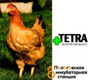 Куры Тетра – описание породы с фото и видео
