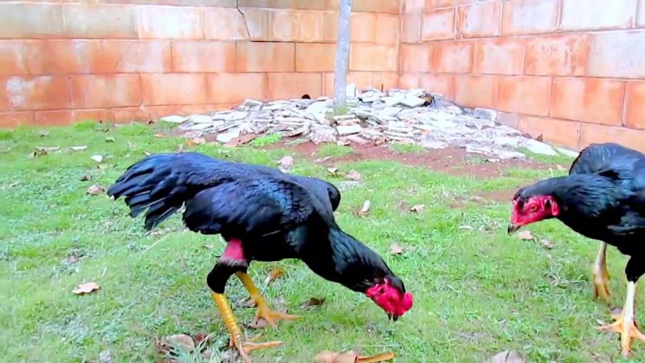 Дакан (Куланги) - бойцовая порода кур. Описание, содержание, уход, выращивание, кормление