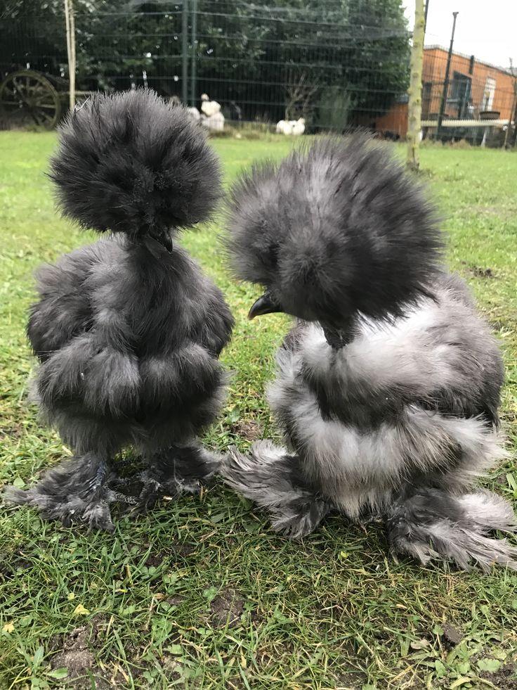 Необычные породы кур с описанием и фото