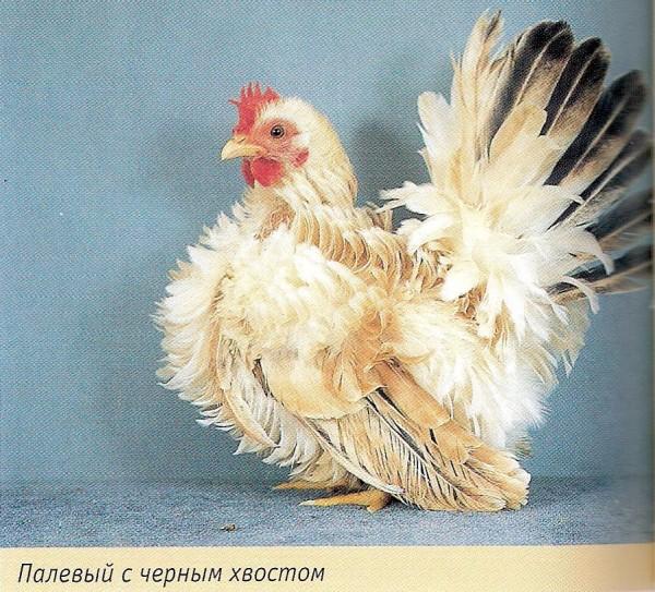 Зеленоножка порода кур – описание с фото и видео