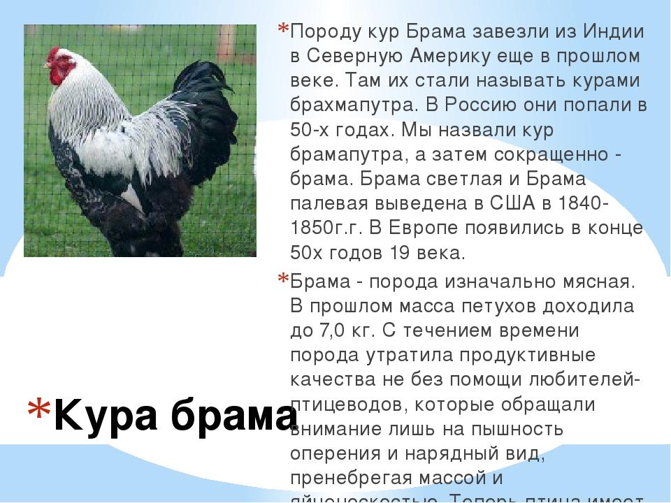 Описание и продуктивность мясных курочек Брама