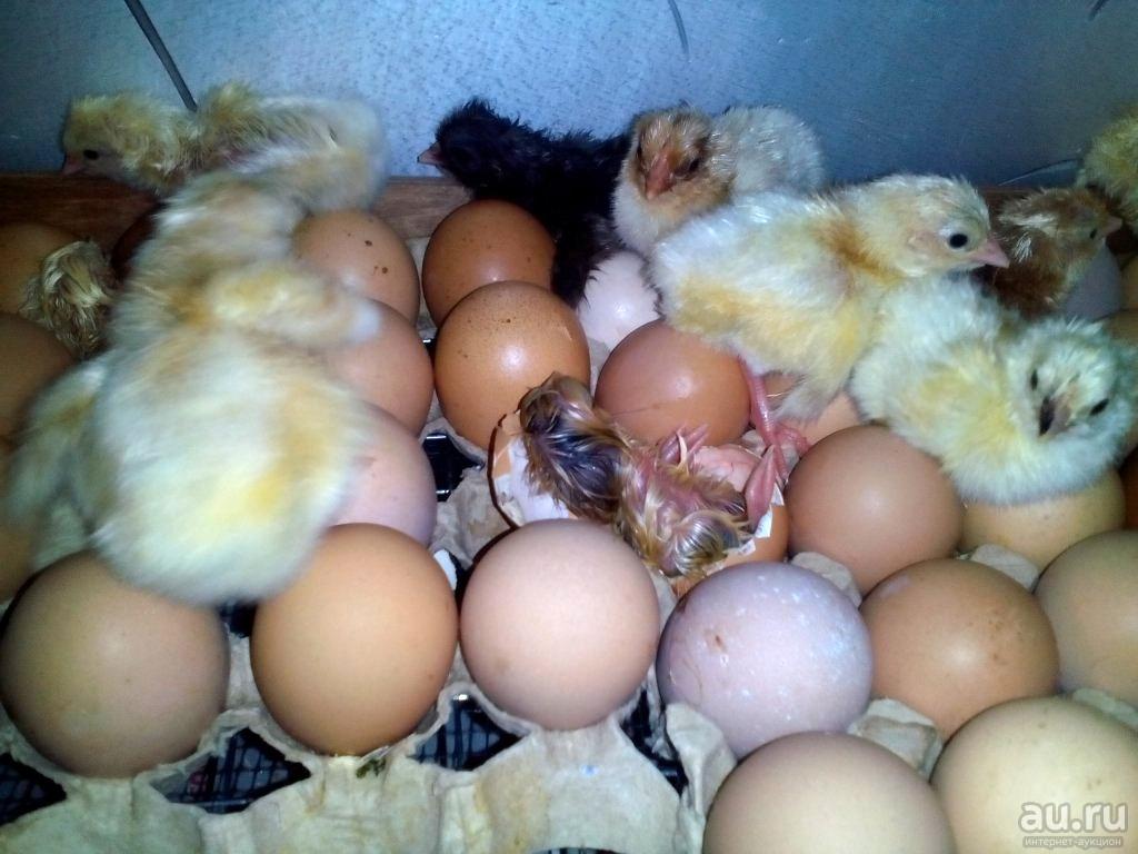 Почему цыплята не вылупились на 21 день в инкубаторе: что делать?