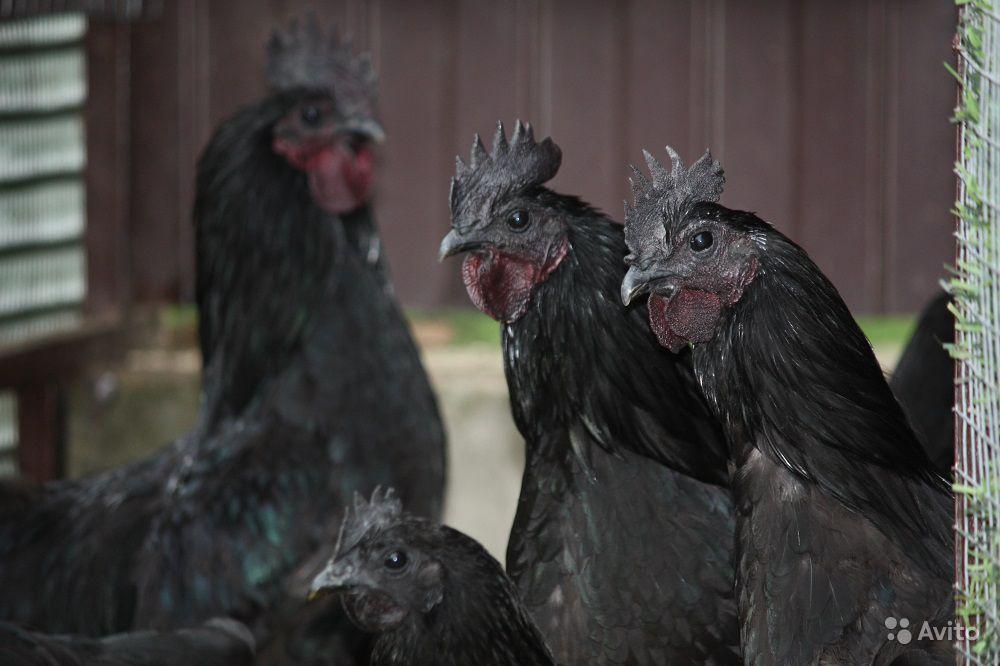 Ухейилюй (лакеданзи) - мясо-яичная порода кур. Описание, характеристики, нюансы содержания, яйценоскость и инкубация
