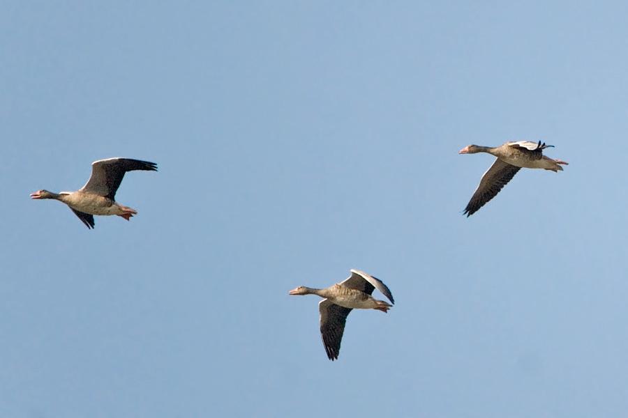 Зрение гусей – интересные факты, как гуси видят мир