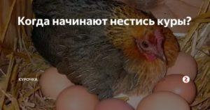 Как часто несутся куры: с какого возраста и в какое время суток? Способы повышения качества и количества яиц