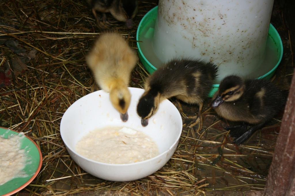 Уход за гусятами и их кормление