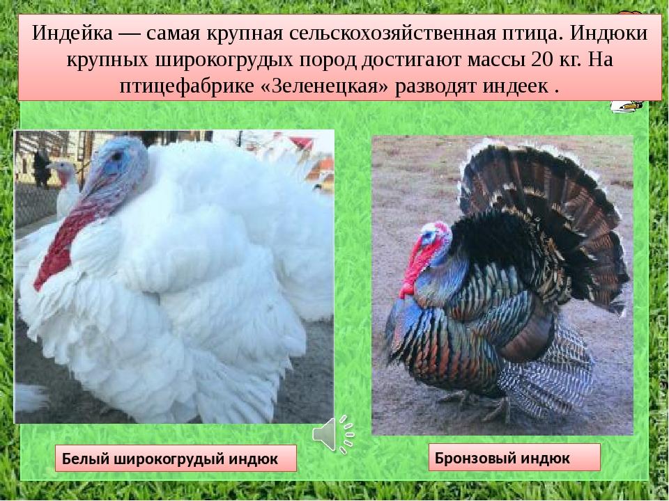 Особенности любимой породы фермеров Белой широкогрудой индейки