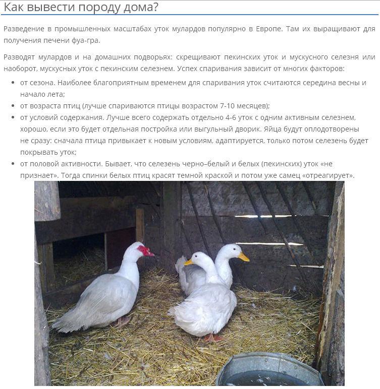 Муларды – что это за утки, их особенности, описание и фото, отзывы