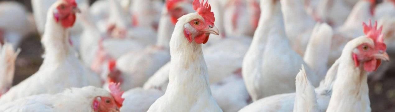 Декалб Уайт порода кур – описание с фото и видео