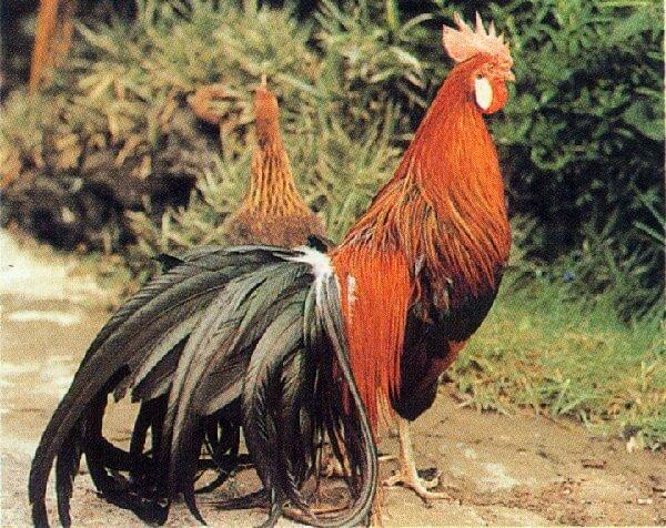 Феникс - декоративная порода кур с длинным хвостом. Описание, характеристики, особенности содержания, кормление