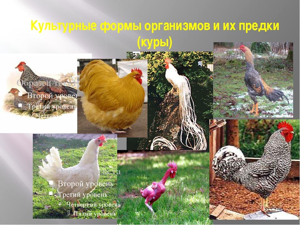 Курица – не птица, а нечто большее. История курицы