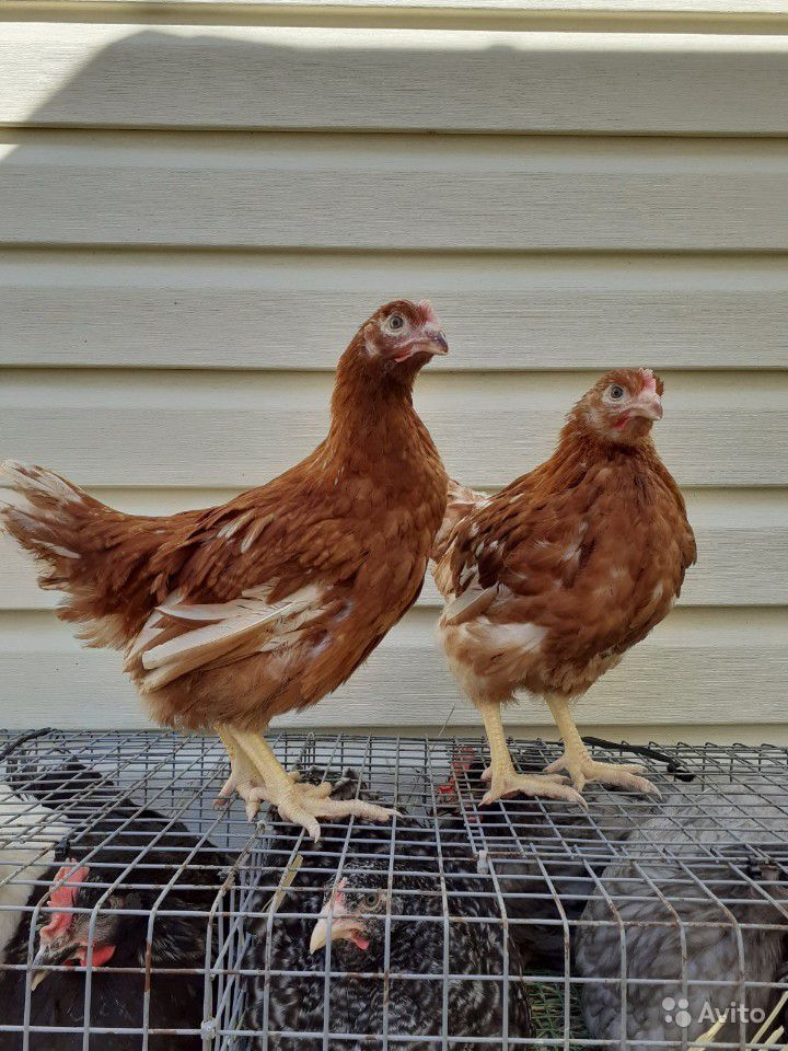 Арденская - яичная порода кур. Описание, характеристика, содержание и разведение, инкубация