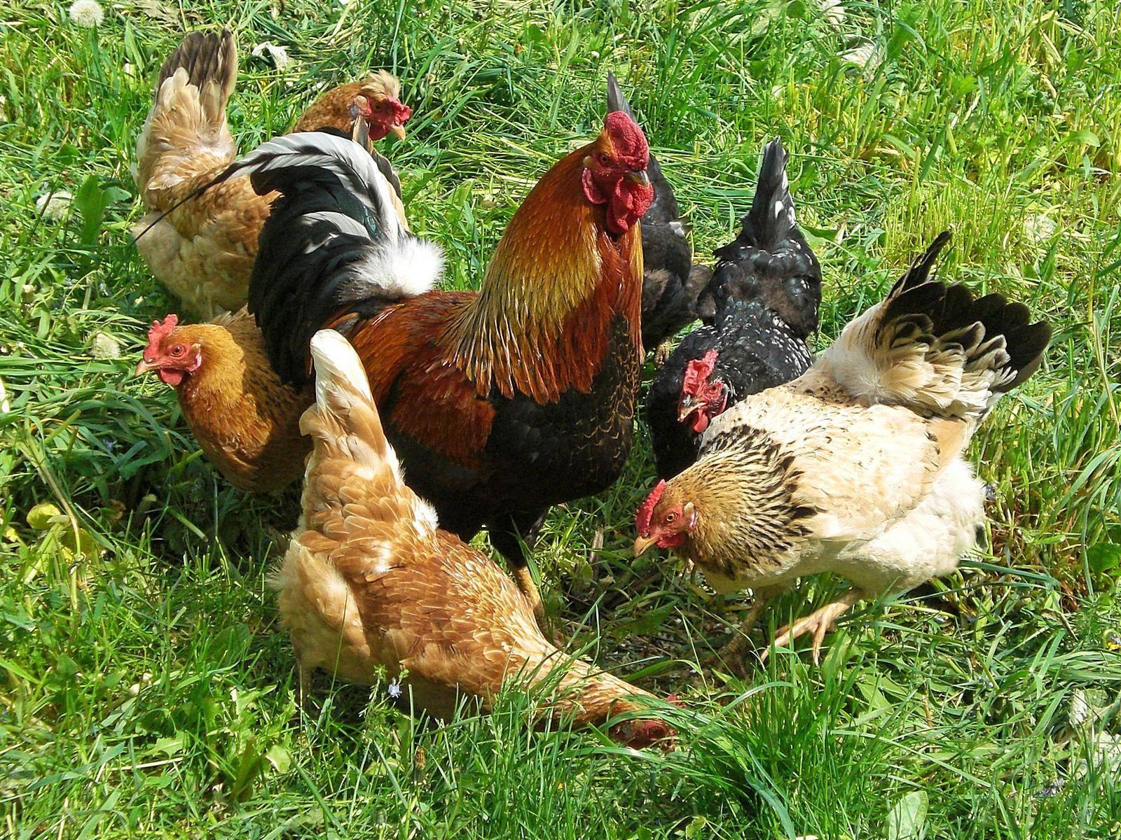Нужен ли курам петух, чтобы нести яйца и как он влияет на их яйценоскость?
