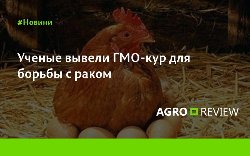 Курица умнее человека – сенсационные исследования ученых
