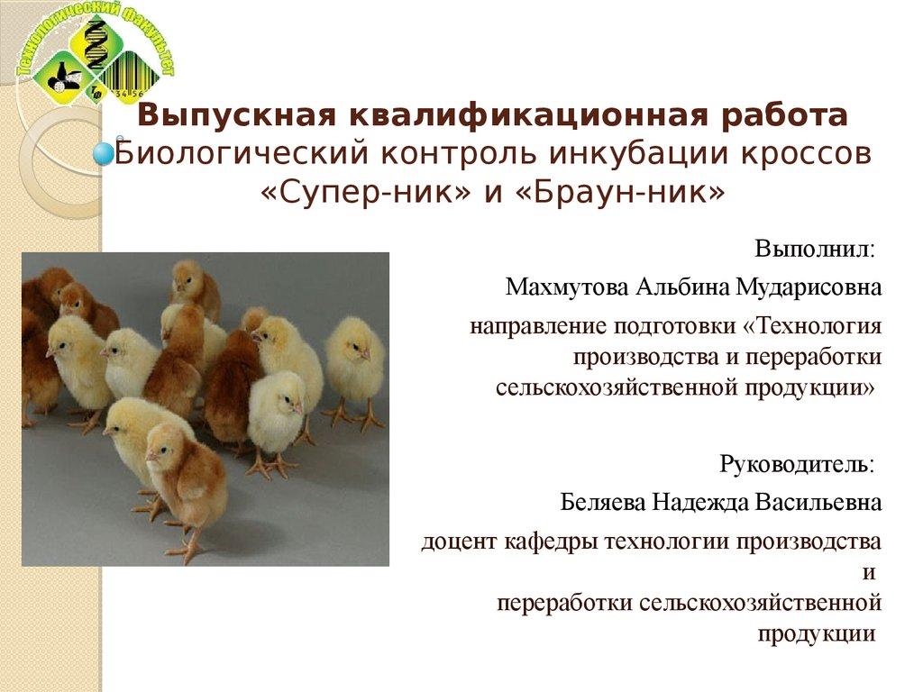 Куры Супер Ник - яичный кросс. Описание, особенности содержания и ухода, кормление, яйценоскость
