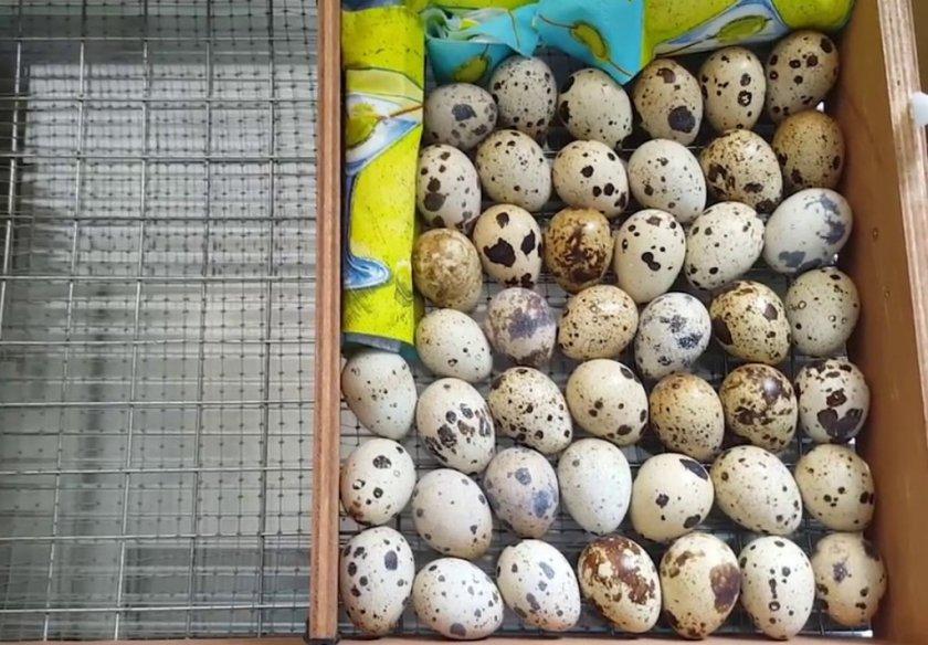 Инкубация перепелиных яиц в домашних условиях