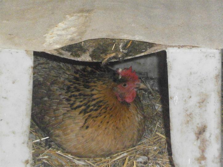 Курица высиживает цыплят 3 недели, сколько дней проходит до появления цыплят из яйца?