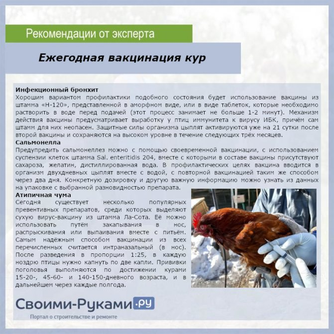 Практические аспекты содержания гибридных кур Авиколор