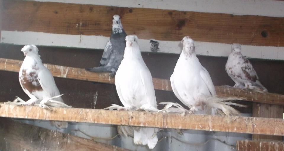 Краснодарская порода голубей: характеристики, особенности содержания