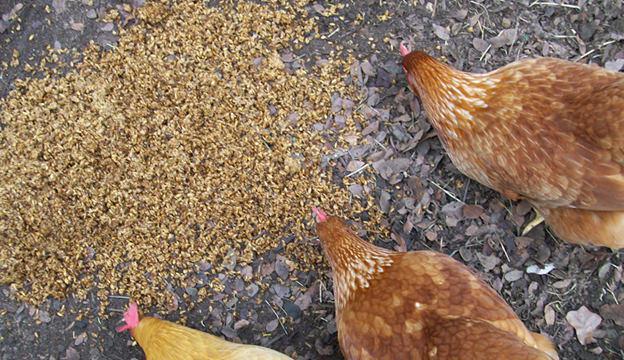 Отруби для кур несушек и бройлеров: как кормить?