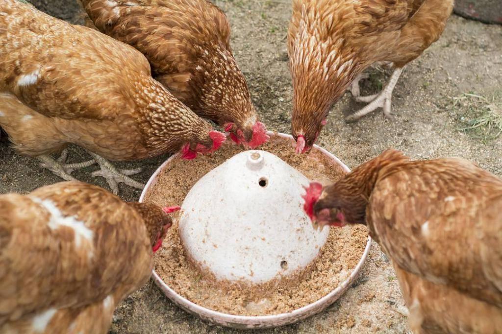 Кормление кур тутовником – полезные свойства и нормы