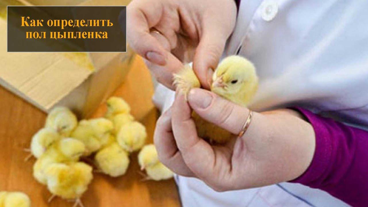 Определение пола у цыплят