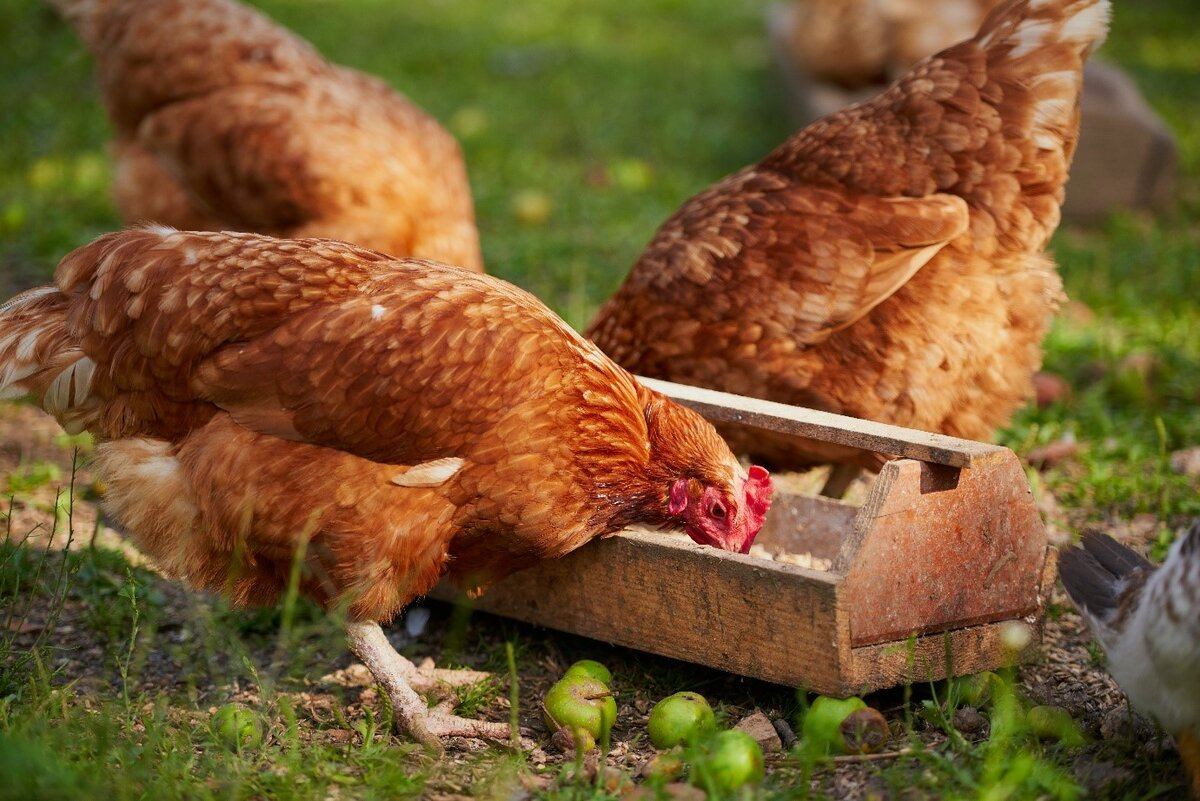 Курица и человек или как одомашнивали кур