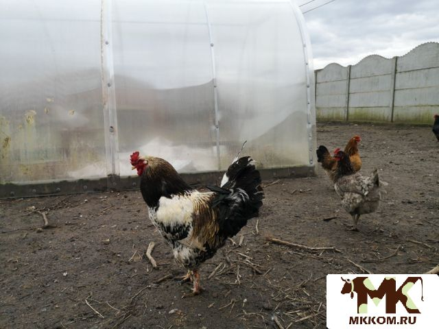 Шантеклер - мясо-яичная порода кур. Описание, характеристики, содержание, разведение и кормление