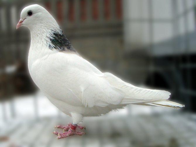 Порода голубей гривуны – характеристики и особенности содержания