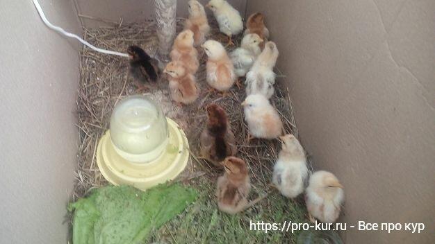 Как вырастить цыплят в домашних условиях с нуля