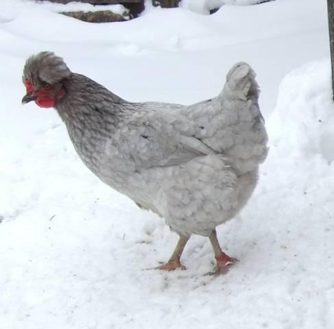 Аврора Голубая порода кур – описание русской, фото и видео