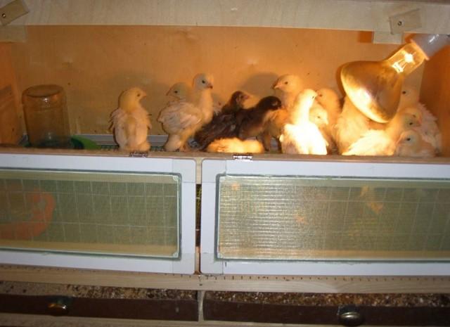 Сколько времени нужно держать цыплят в брудере под лампой?