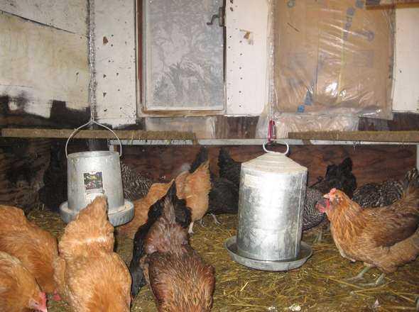 10 советов для спасения кур от жары