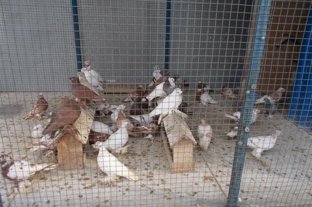 Разведение голубей на мясо, как бизнес: как организовать и найти сбыт